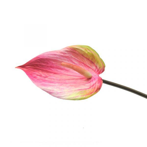 Anthurie rosa D L 76cm