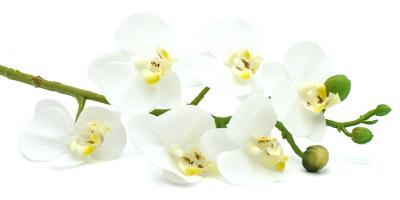 Orchideen-Rispe Weiss