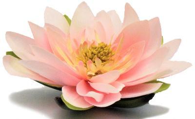 Lotusblüte / Seerose Rosa D 15cm